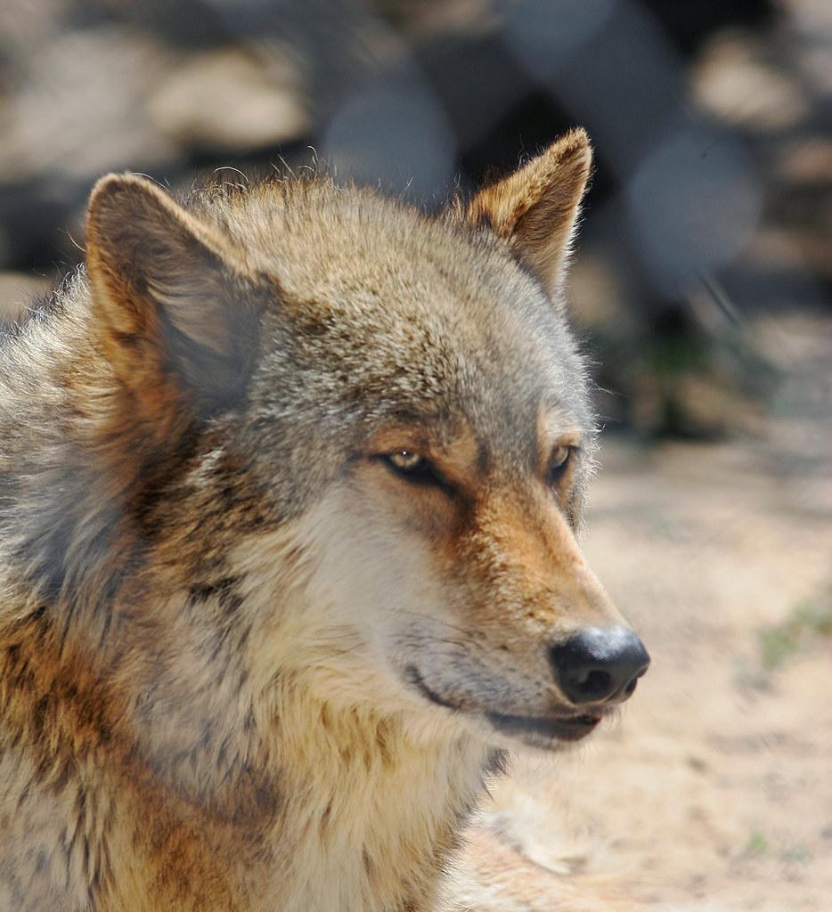 Wolf-IMG_9029