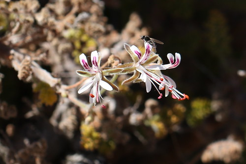 Pelargonium alternans in wild