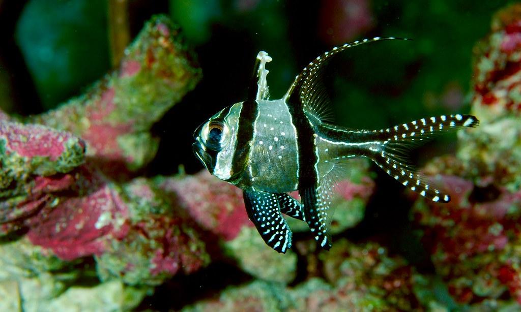 Banggai Cardinalfish_1