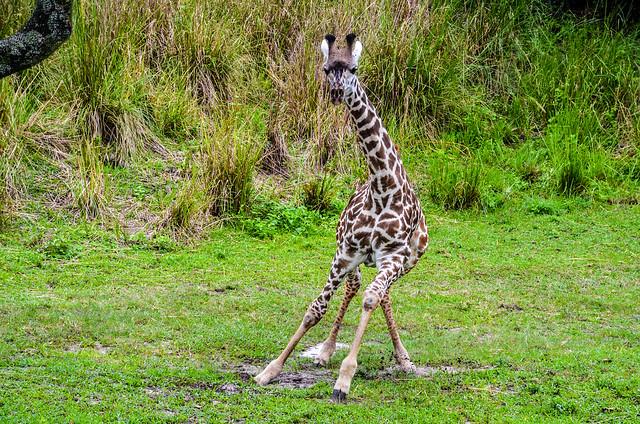 Giraffe running Safari AK