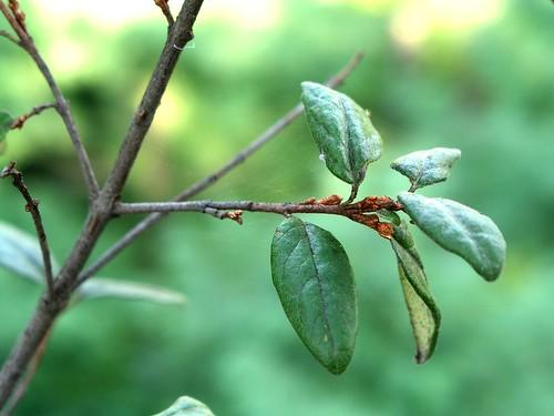 Shepherdia canadensis