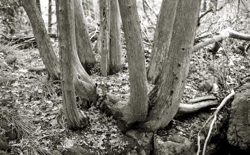 Cedar Trunks_