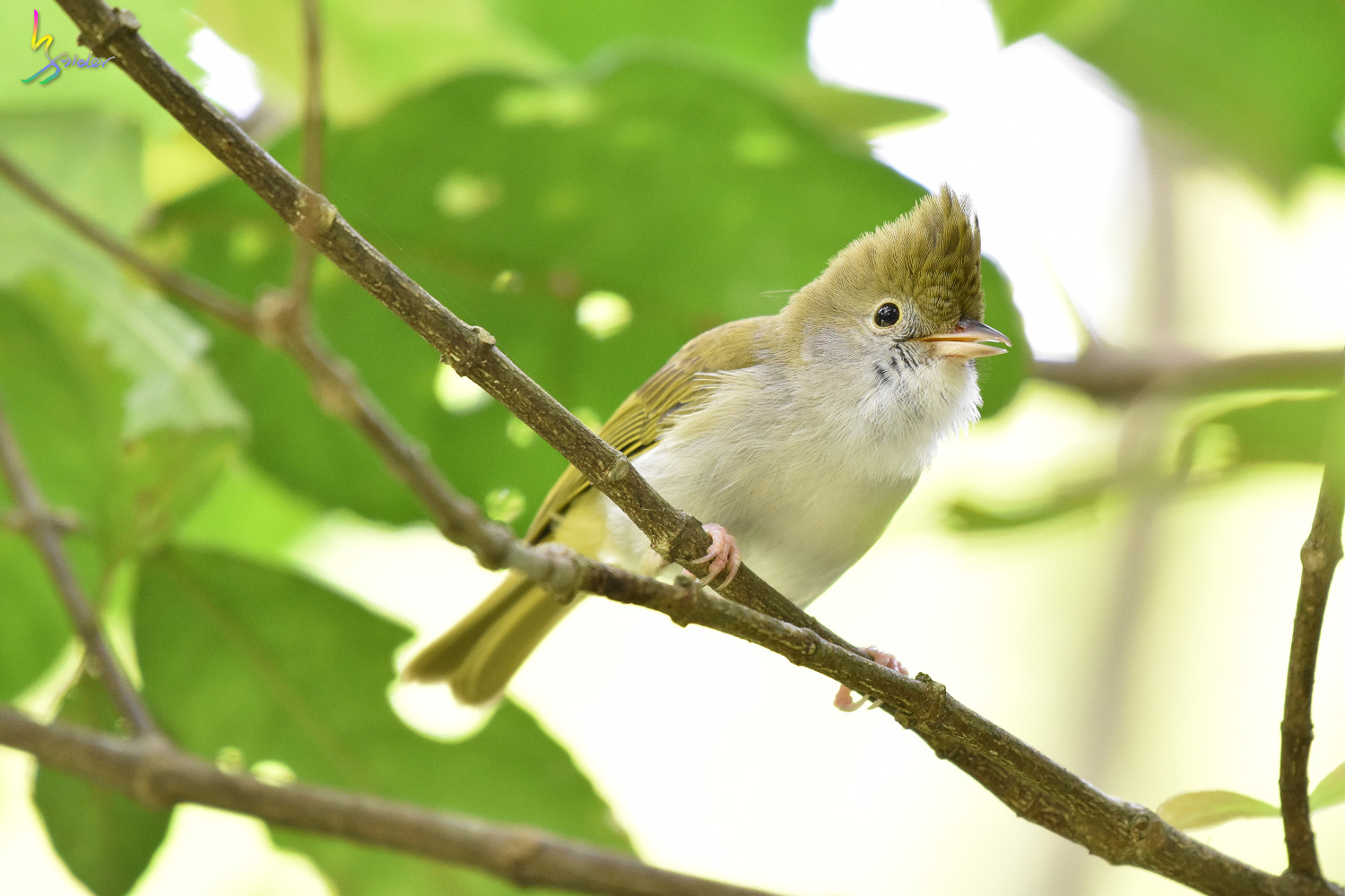 White-bellied_Yuhina_0319