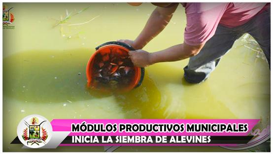 modulos-productivos-municipales-inicia-la-siembra-de-alevines
