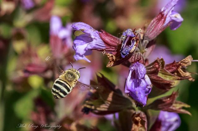 Australian Blue Banded Bee.(Amegilla cingulata)