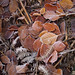 Frosty beech leaves on the woodland floor.