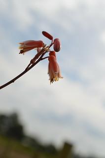 DSC_7027 Aloe cv. DZ  (Debra Zimmerman)