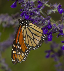 Monarch, male (Danaus plexippus)