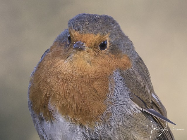 Robin portrait 08/11/17.