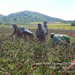 Crop Cutting at DHAN Foundation on November 9, 2017
