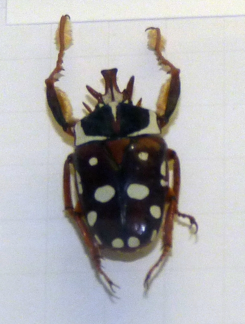 Cheirolasia burkei 38356640584_c067ccc708_o