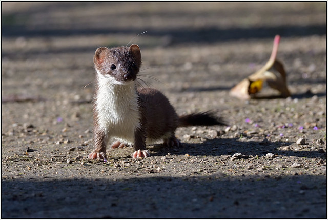 Stoat (image 1 of 2)