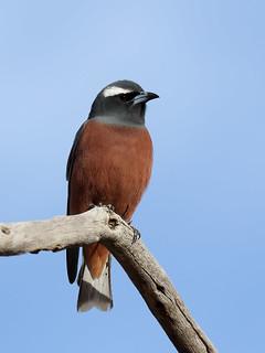 White-browed Woodswallow (Artamus superciliosus)