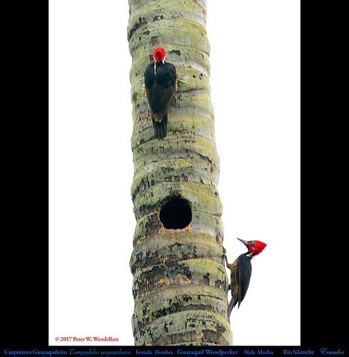 guayaquilwoodpecker guayaquilwoodpeckernest guayaquilwoodpeckermaleandfemale guayaquilwoodpeckerinecuador woodpecker carpinteroguayaquileño carpintero campephilusgayaquilensis campephilus picidae ecuadorwoodpeckers southamericanwoodpeckers ecuadorbirds southamericanbirds neotropicalbirds ríosilanchebirds avesderíosilanche ríosilanchebirdsanctuary pedrovicentemaldonado ecuador photobypeterwendelken peterwendelken