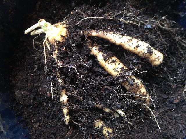 Cucamelon root, Melothria scabra