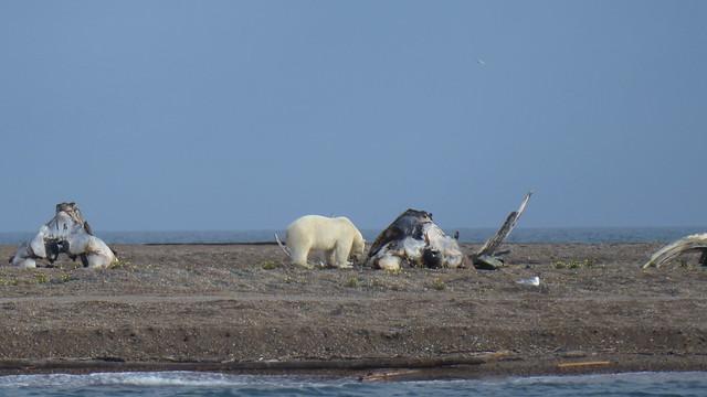 Cross Island Bear