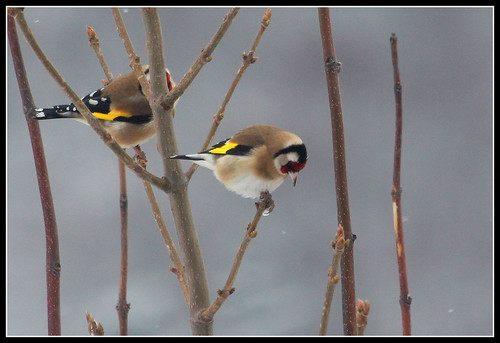 les visiteurs à plumes sauvages  2 - Page 12 38764941441_205e0dc55a