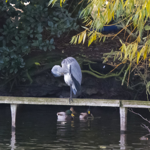 Standing on one leg: heron, West Park