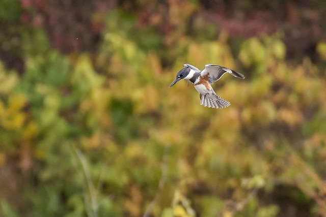 Belted Kingfisher in a hover.