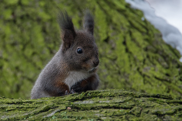 Squirrel/wiewiórka/Sciurus vulgaris