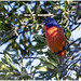 Male Painted Bunting__911A4944 by skippyanne