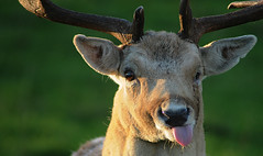 Rude Deer