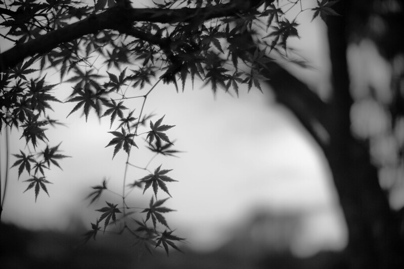 monotone maple leaves