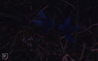 Spring gentian dark. Near Kilfenora. 1988