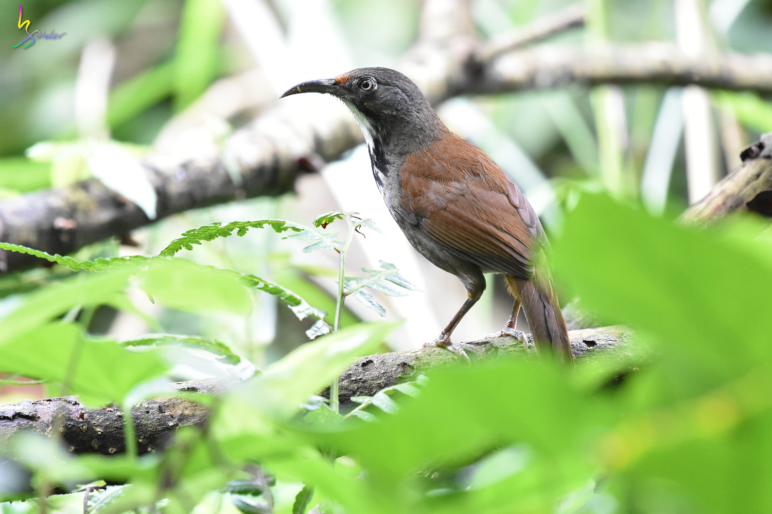 Rusty-cheeked_Scimitar-Babbler_0755