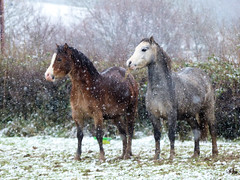 Welsh Ponies in the Snow #7dwf