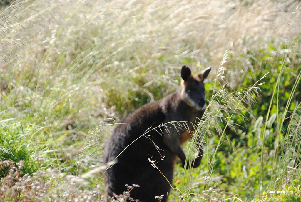 Kenguru Phillip Islandilla Australiassa