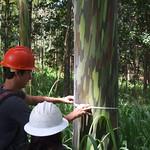 Eucalyptus deglupta diameter
