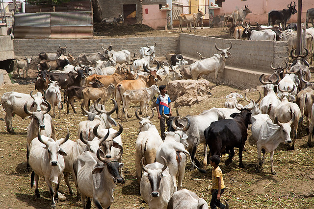 Cattle in Bhuj, India.