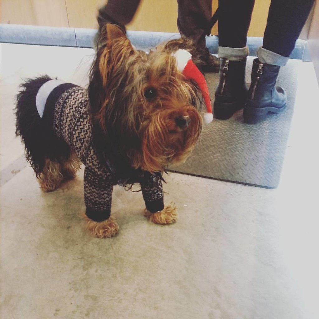 Li'l Chewbacca waiting for his skater to choose new gear. #yorkiesofinstagram #calstreets