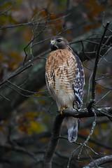 Red-shouldered Hawk - McAuley Park, Potomac, Montgomery, MD - 9 November 2017
