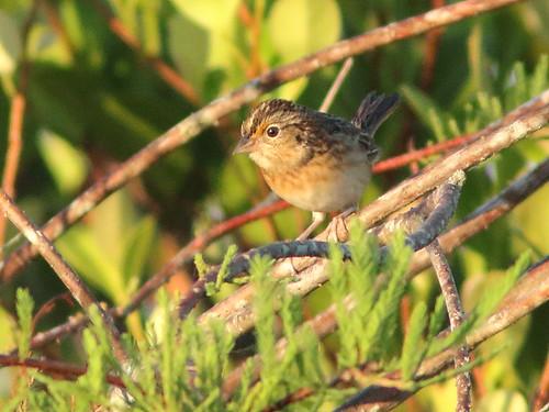 Grasshopper Sparrow 01-20171109