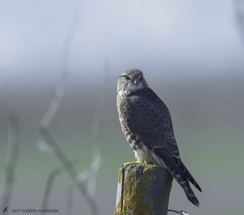 Falco columbarius - Merlin - Esmerilhão
