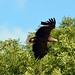 White Tailed Sea Eagle  (56)