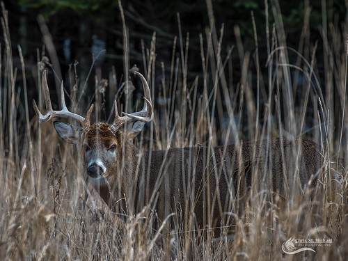 10 point Buck- White Tail Deer