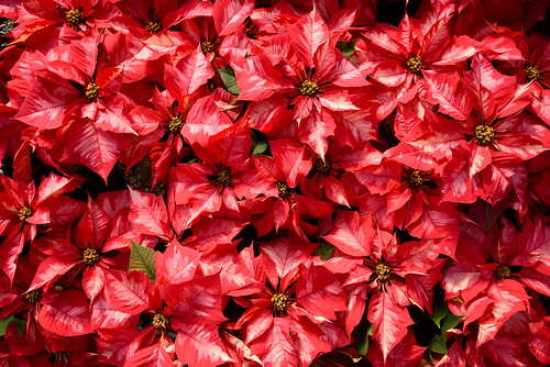 A sea of red/pink leave Ice Crush poinsettia plants at Poinsettia Field Day at Raulston Arboretum.