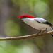 Araripe Manakin - Brazilian Birds - Species # 225 by Bertrando©