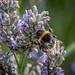 Lavendar_Bees-12