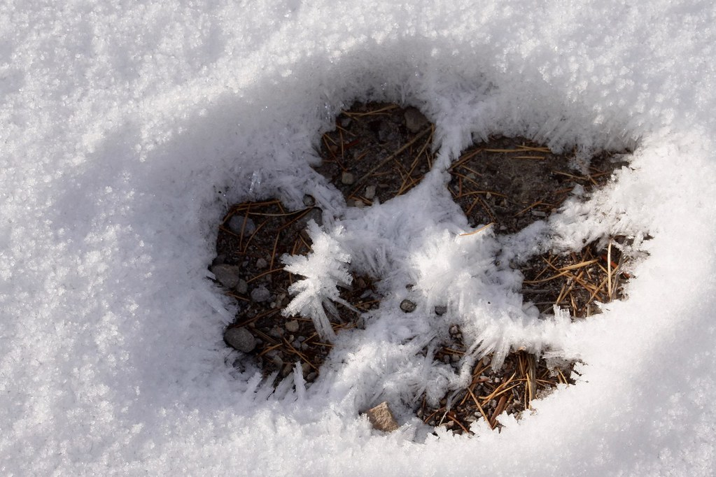 Wolf track in the snow