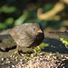 Kevin the young Blackbird