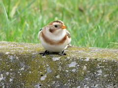 Snow Bunting, Geneva S.P., Ashtabula Co., OH 11/6/2017