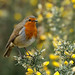 European Robin ----- Erithacus rubecula