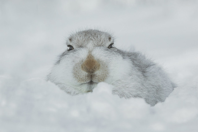 Mountain Hare - Settled