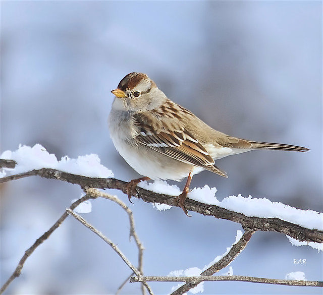 White-crowned Sparrow juvenile (Zonotrichia leucophrys) -01