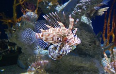 Lionfish. Atlanta, GA