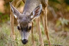 Fauna. Nikkor 400mm f/3.5 AIS #nikon #nikkor #400mm #ais #manualfocuslens #f3.5 #aislens #deer #birds #animals #fauna #bokeh #squirrels #squirrel #eating #feeding #watermelon #watermelonrinds #green #brown #yellow #D7100 #google #snapseed #editedonsnapsee